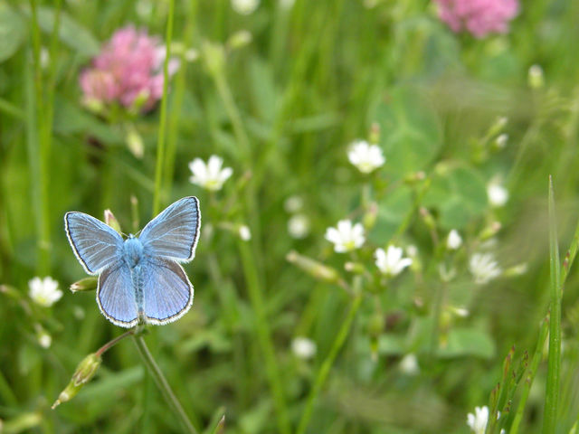 Blue butterfly on the meadow