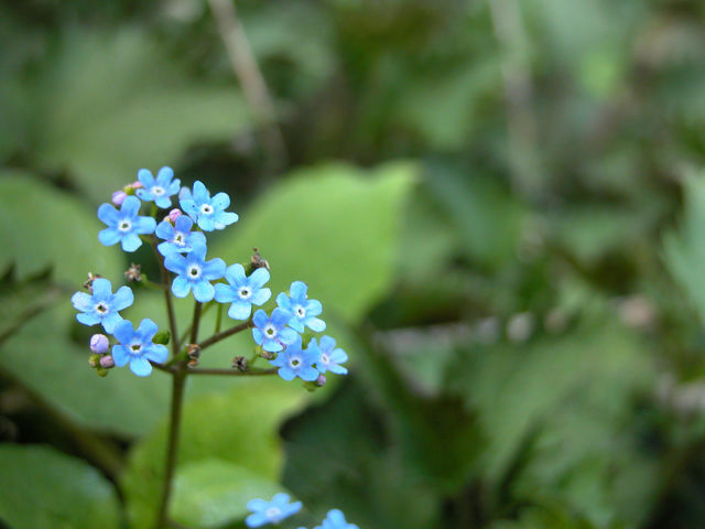 A single forget-me-not in the forest