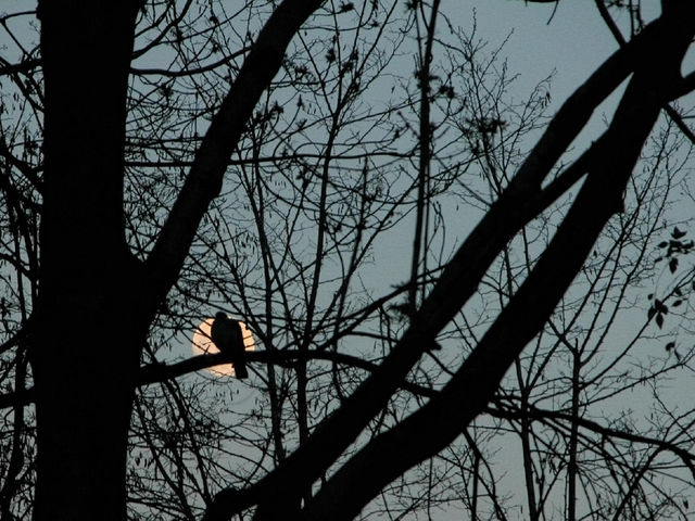 The moon behind the wood pigeon