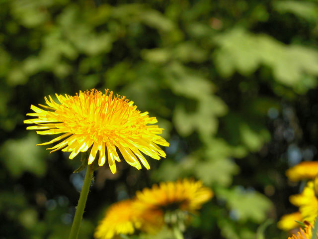 Dandelions on the meadow