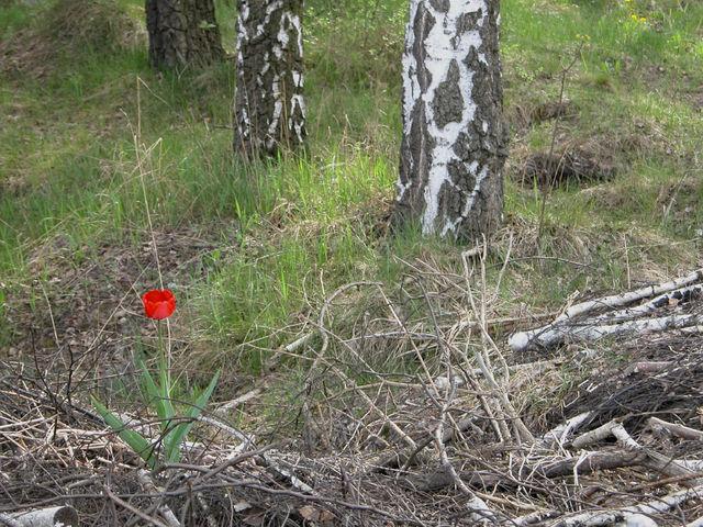 Samotny tulipan na nieużytkach
