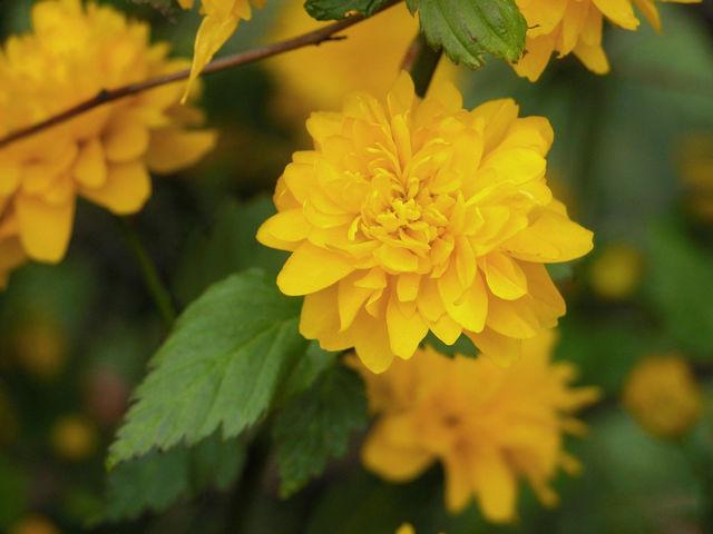 Żółte kwiaty na krzewie