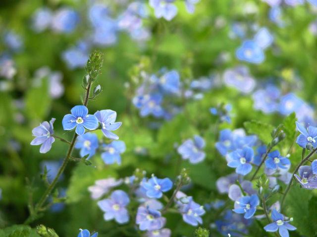 Niebieskie pole kwiatów