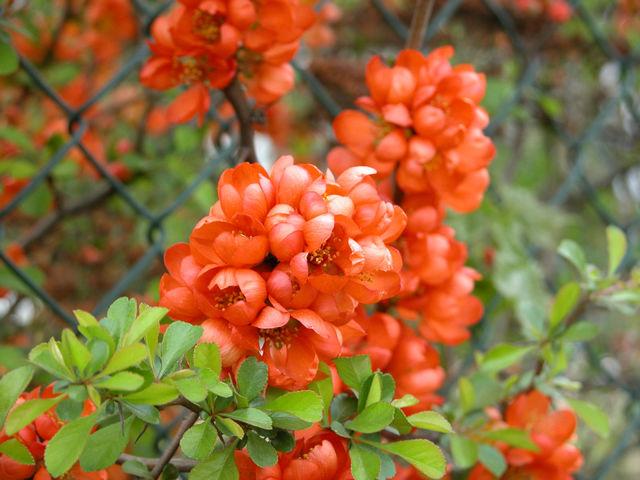 Czerwone kwiaty na krzewie