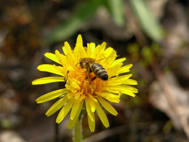 Pszczoła na mleczu