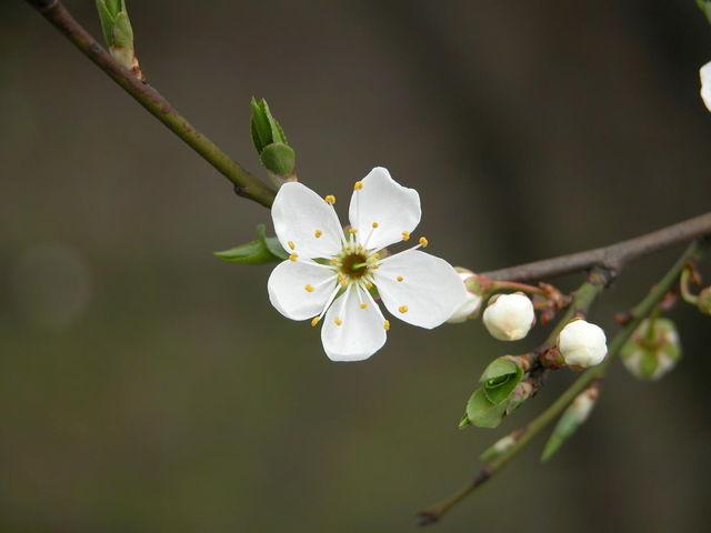 Kwiat śliwy mirabelki
