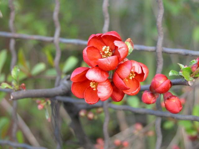Czerwone kwiaty na krzaku
