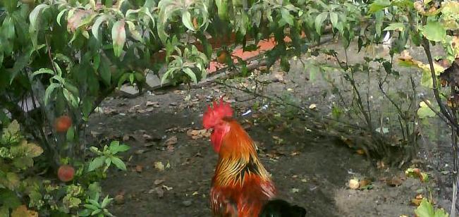 Kurczak w brzoskwiniach